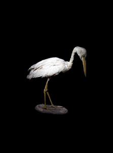 Taxidermy Great Egret (Ardea Alba)