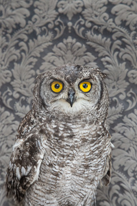 Spotted Eagle Owl  No. 7261